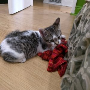 grey tabby foster kitten with a bunch of machine knit swatches in her mouth