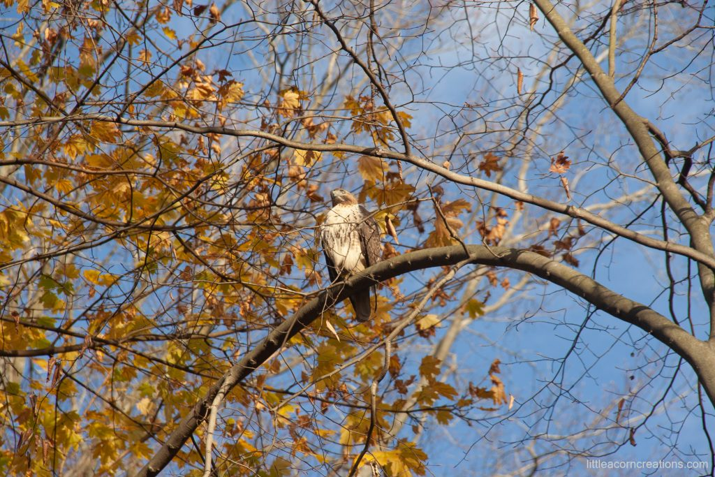 Hawk enjoying a beautiful autumn afternoon in the nature preserve.