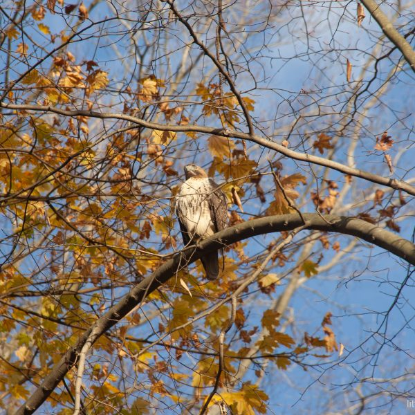 hawk sitting on a branch of a tree in late autumn.